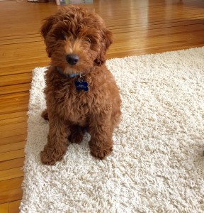 Murray (aka Benny) F1b Goldendoodle - 3 months old