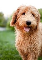 Apricot labradoodle F1b - 9 months