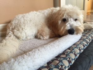 Willow's F1b Whitish, Standard Labradoodle